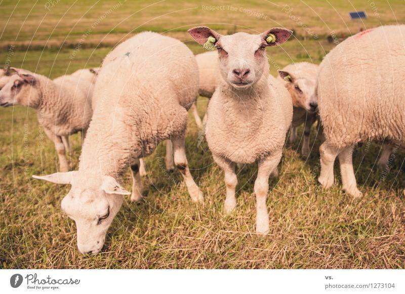 Schafes Bild Landschaft Gras Wiese Küste Tier Nutztier Fell Pfote Schafherde Tiergruppe Herde Tierjunges Fressen füttern Gesundheit weich Tierliebe gefräßig