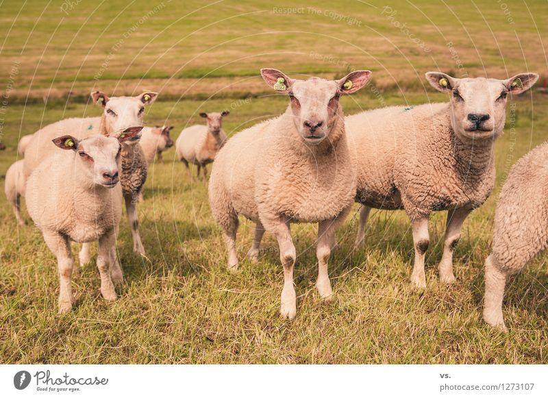 Piercing Convention Landschaft Hügel Nutztier Schaf Schafherde Tiergruppe Herde füttern weich Tierliebe Tierzucht Deich Niederlande Wolle Fell Bekleidung