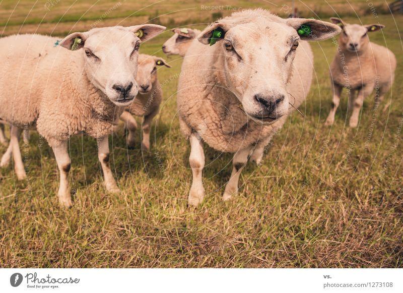 Schafe, die auf Männer starren Natur Gras Wiese Feld Tier Nutztier Schafherde Herde Tierfamilie füttern weich Tierliebe Zusammenhalt Deich mähen Fressen blöken
