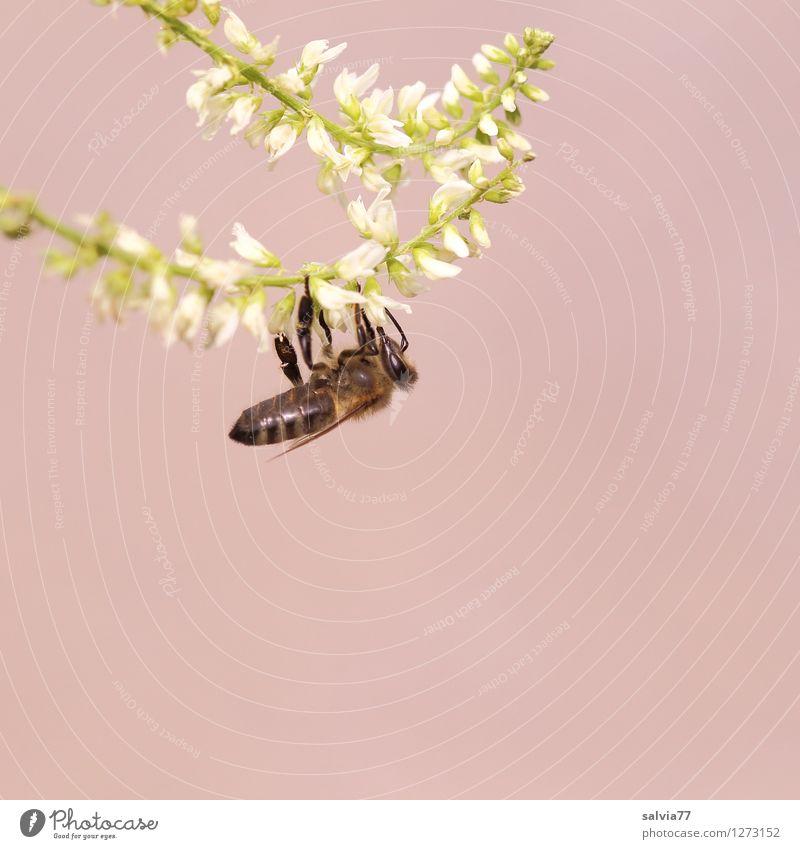 lecker Steinklee Natur Pflanze Sommer weiß Tier Umwelt Frühling Blüte klein grau Arbeit & Erwerbstätigkeit Blühend Fitness festhalten sportlich