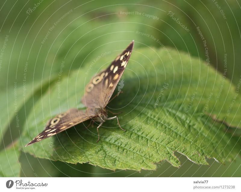 Waldbrettspiel Natur Pflanze Tier Sommer Sträucher Blatt Grünpflanze Wildpflanze Wildtier Schmetterling pararge aegeria Insekt 1 genießen sitzen nah natürlich
