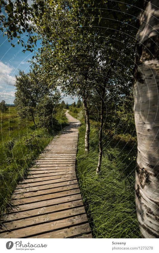 Weiße Birken Himmel Natur Ferien & Urlaub & Reisen blau Pflanze grün Sommer weiß Baum Landschaft ruhig Wolken Wege & Pfade Gras braun Tourismus