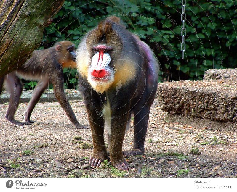 Mich laust der Affe Zoo Affen Duisburg Mandrill