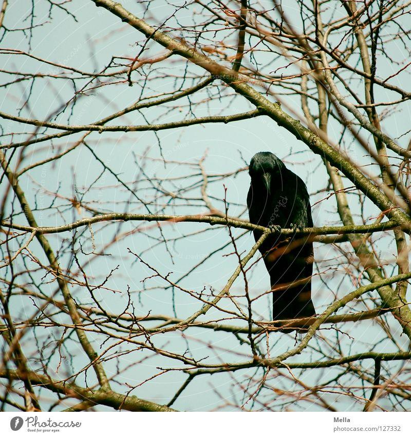 Ich komm' Dir gleich da runter! Umwelt Natur Pflanze Tier Baum Ast Zweige u. Äste Vogel Krähe 1 hocken Blick sitzen natürlich Neugier blau Farbfoto