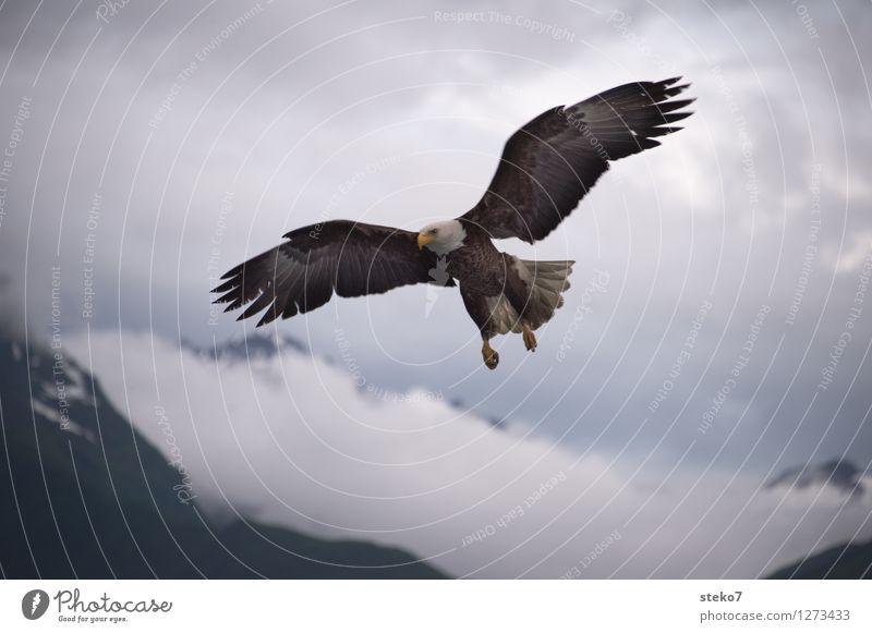 Landeanflug Wolken Tier Berge u. Gebirge Freiheit fliegen Jagd Leichtigkeit Alaska Weisskopfseeadler