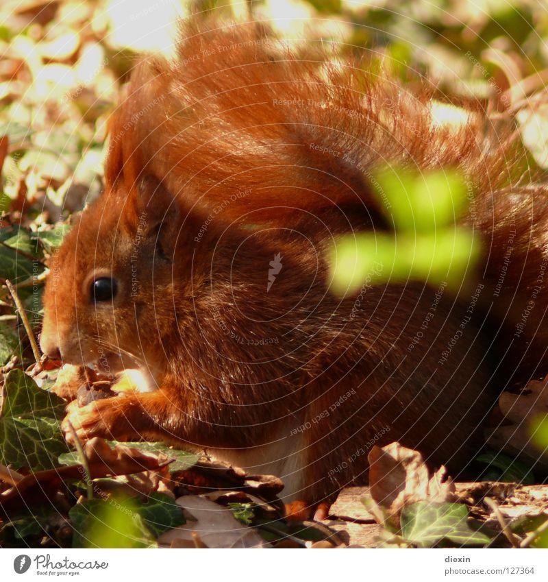 ? ? ? Eichhörnchen Eiche Nagetiere Säugetier Fell Schwanz buschig Knopfauge Ernährung Fressen Wald Haare & Frisuren Pinsel süß niedlich braun Pfote Frühling