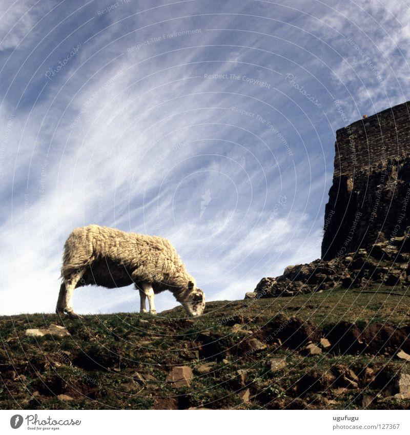 Sheeps Himmel Cirrus Island Säugetier sheep Lindisfarne castle grass sky clouds wool stones