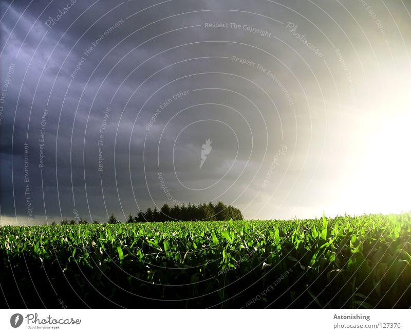 der Kampf des Wetters gegen sich selbst Natur Himmel grün blau Pflanze schwarz Wolken Wald Regen Feld Wind schlechtes Wetter Regenwolken Maisfeld
