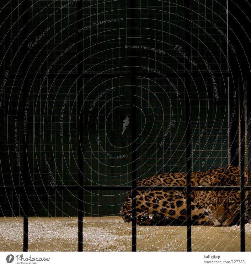katzenfoto Katze ruhig liegen schlafen Lebewesen Zoo Quadrat Säugetier Gitter gefangen Schwanz Besucher Käfig Leopard Qual Landraubtier