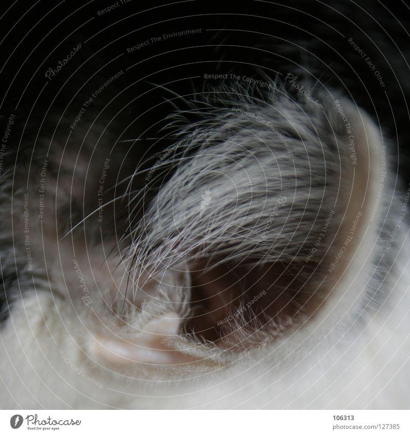 KATZENFOTO Katze Elite elitär Abhängigkeit hören Publikum wahrnehmen Tier maskulin Borsten weiß schwarz Fell Gehörgang Öffnung Eingang sensibel beobachten