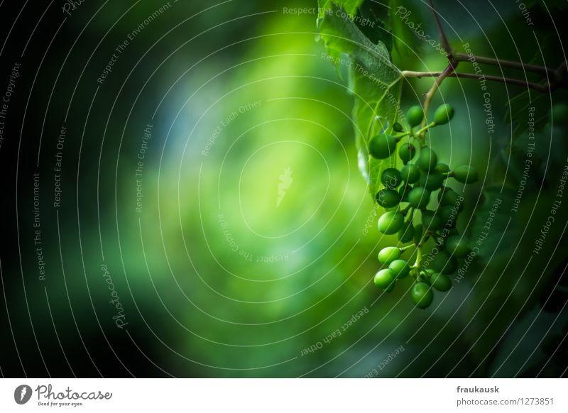 Wein Natur Pflanze grün Frucht Weintrauben