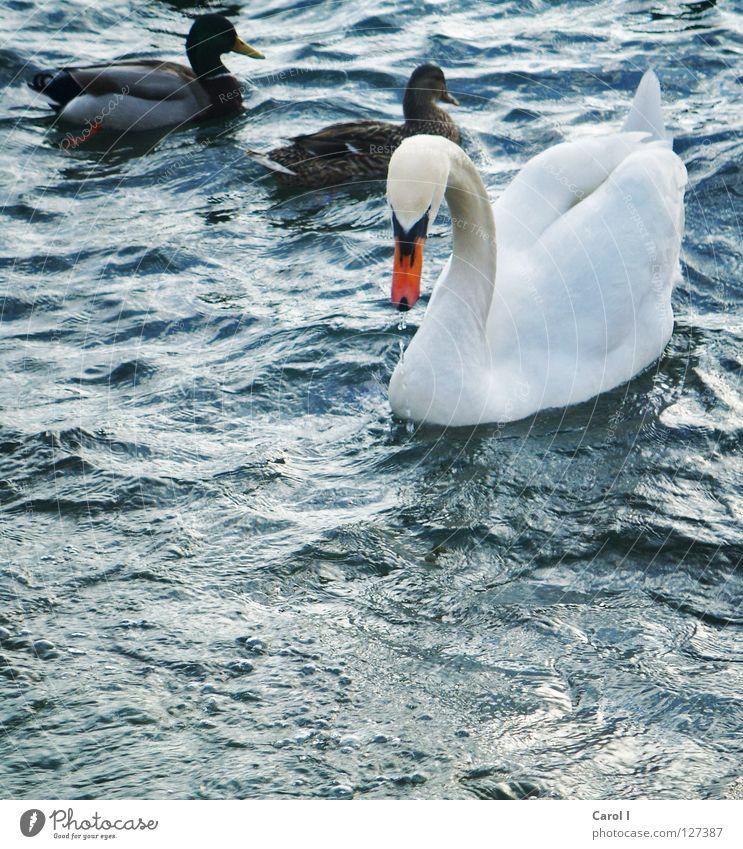 familiär grün Schwan Wellen Schnabel dunkel Wind weiß Feder Vogel tief Eisenbahn See Schweiz Zugersee Sturm Leben Leidenschaft Unwetterwarnung gefährlich Tier