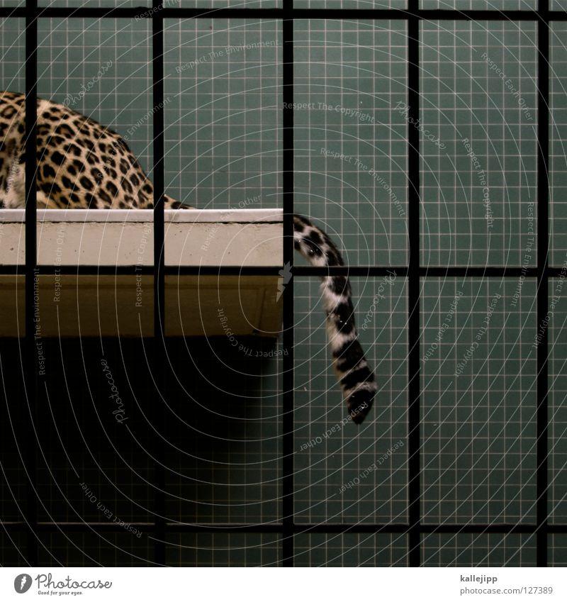 katzenfütterung Katze liegen Körperhaltung Hinterteil Lebewesen Fliesen u. Kacheln Zoo Säugetier Gitter gefangen Schwanz Bildausschnitt Anschnitt Käfig Leopard