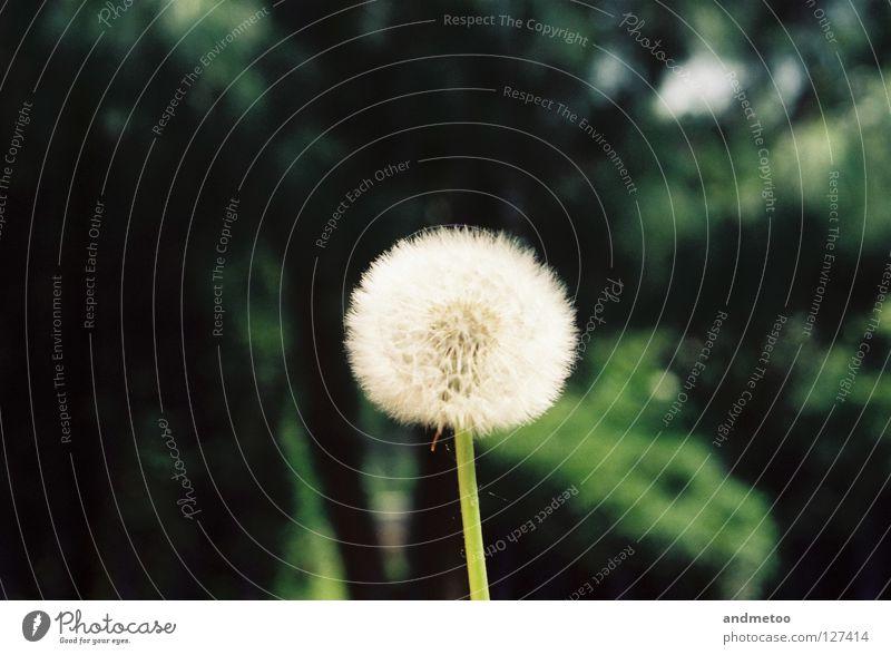 dandelion Löwenzahn Blume Samen Natur Pflanze säen springen Frühling Sommer Herbst Erinnerung fruchtbar Park