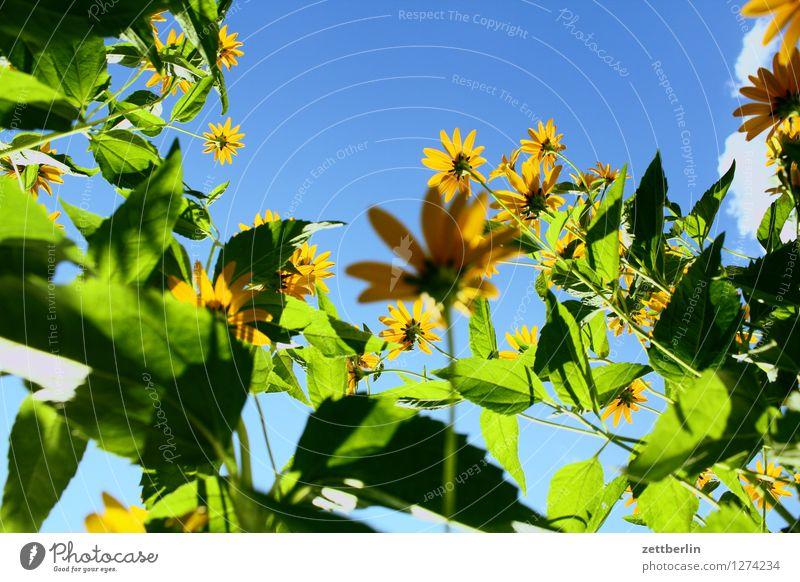 Blumen Himmel Sommer Blume Blüte Garten Textfreiraum Blühend Schönes Wetter Wolkenloser Himmel Korbblütengewächs Sonnenhut