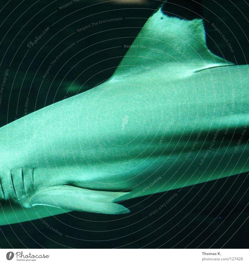 High Haifisch Meer Kieme Meerwasser Aquarium Elektrizität Stromlinie atmen Potenz Fressen Raubfisch schleichen Angeln Angler Fischer Hochsee tauchen Kick sea