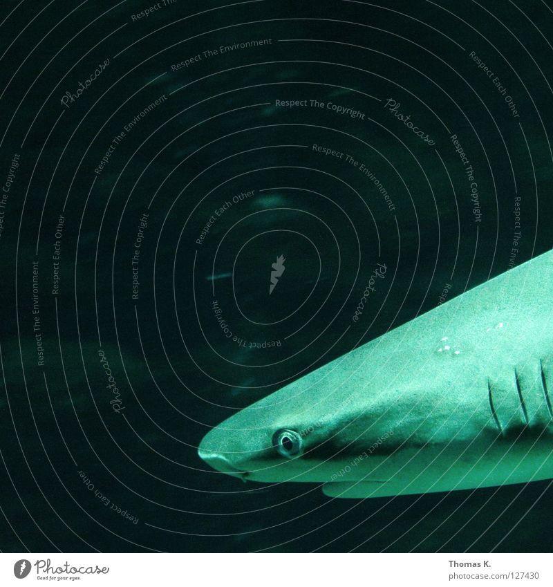 High Low Haifisch Meer Kieme Meerwasser Aquarium Elektrizität Stromlinie atmen Potenz Fressen Raubfisch schleichen Angeln Angler Fischer Hochsee tauchen Kick