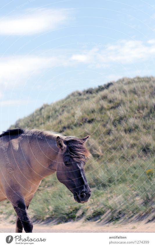 Sturmfrisur Ferien & Urlaub & Reisen Tourismus Ausflug Abenteuer Ferne Freiheit Sommer Sommerurlaub Strand Meer Düne Stranddüne Dünengras Natur Wolken Sonne