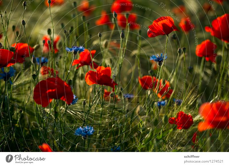 Spreedorado | Mohn dieu! blau Pflanze grün Blume rot Blüte Wiese Gras Feld Schönes Wetter Mohn Korn Kornblume Mohnfeld Mohnblüte Mohnkapsel