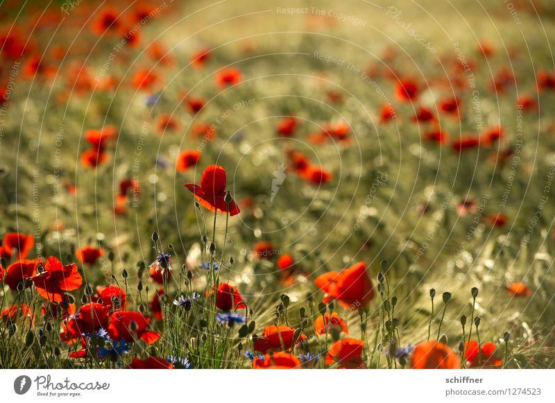 Spreedorado | Sommermohnat Natur Pflanze Baum rot Umwelt Blüte Wiese Gras Feld Sträucher Mohn Nutzpflanze Gerste Kornblume Mohnfeld Mohnblüte