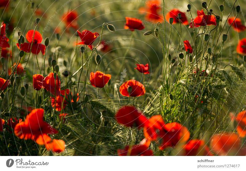 Spreedorado | Rot-Grün Natur Sonnenaufgang Sonnenuntergang Sonnenlicht Sommer Pflanze Blume Gras Sträucher Blüte Nutzpflanze Feld grün rot Mohn Mohnblüte