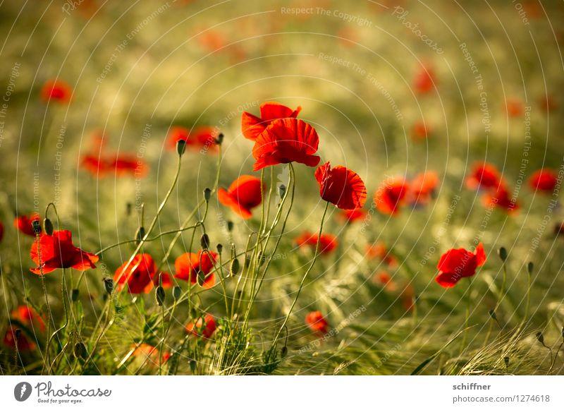 Spreedorado | soweit das Auge reicht Umwelt Natur Pflanze Blume Feld grün rot Mohnblüte Mohnfeld Mohnblatt Mohnkapsel Gerste Gerstenfeld Außenaufnahme