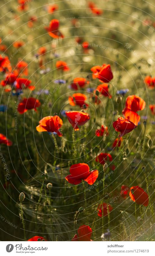 Spreedorado | Immer diese... Pflanze Blume Sträucher Grünpflanze Nutzpflanze Wiese Feld blau grün rot Mohn Mohnblüte Mohnfeld Mohnkapsel Schwache Tiefenschärfe