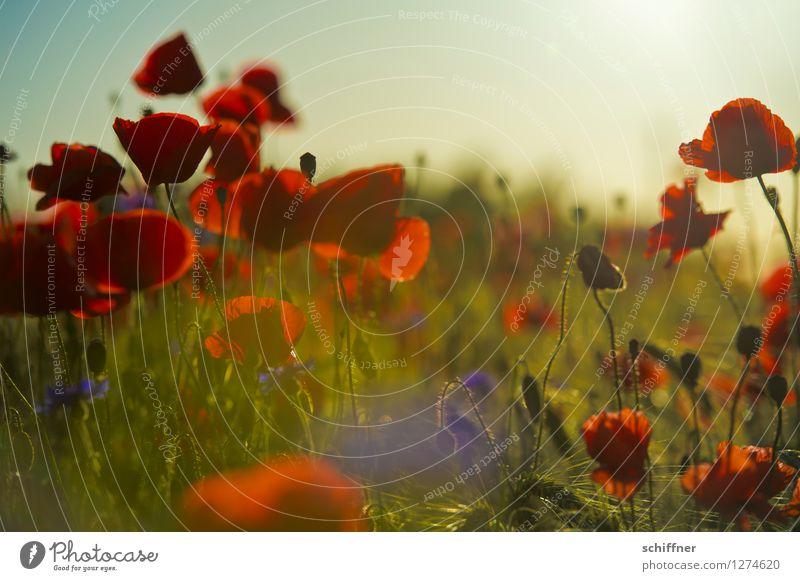 Spreedorado | Abendrot Umwelt Natur Landschaft Pflanze Sommer Gras Sträucher Blüte Nutzpflanze Wiese Feld Mohn Mohnblüte Mohnfeld Kornblume Mohnkapsel