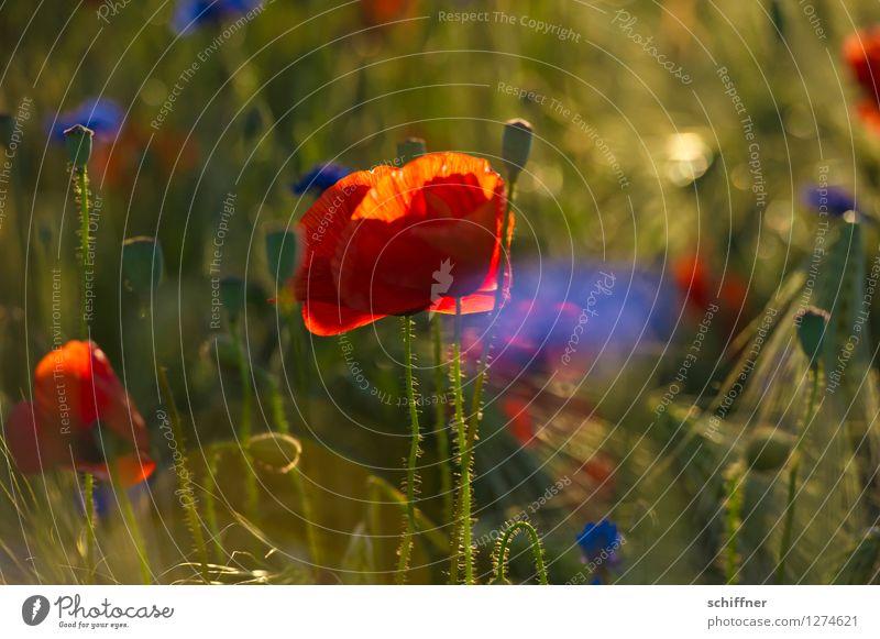 Spreedorado | Ja, isn schon wieder Mohntag? Pflanze Blume Gras Sträucher Wiese Feld blau grün rot Mohnblüte Mohnfeld Mohnkapsel Kornblume Sommer sommerlich