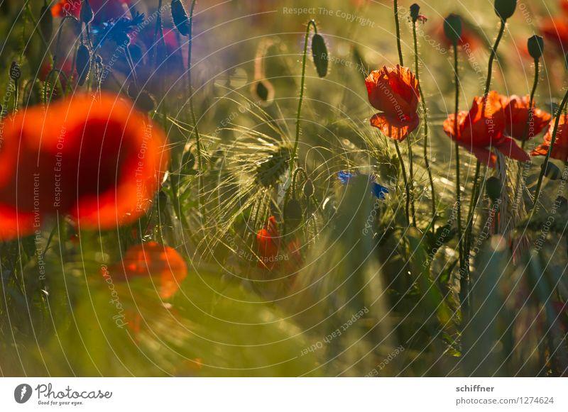 Spreedorado | buntes Korn Pflanze Blume Blüte Nutzpflanze Wiese Feld blau rot Gerste Gerstenfeld Mohn Mohnblüte Mohnfeld Kornfeld Getreide Kornblume Mohnkapsel