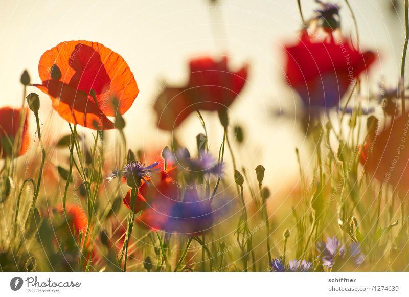 Spreedorado | Immer wieder mohntags... Pflanze Sonnenaufgang Sonnenuntergang Sonnenlicht Schönes Wetter Blume Gras Wiese Feld blau grün rot Mohn Mohnblüte