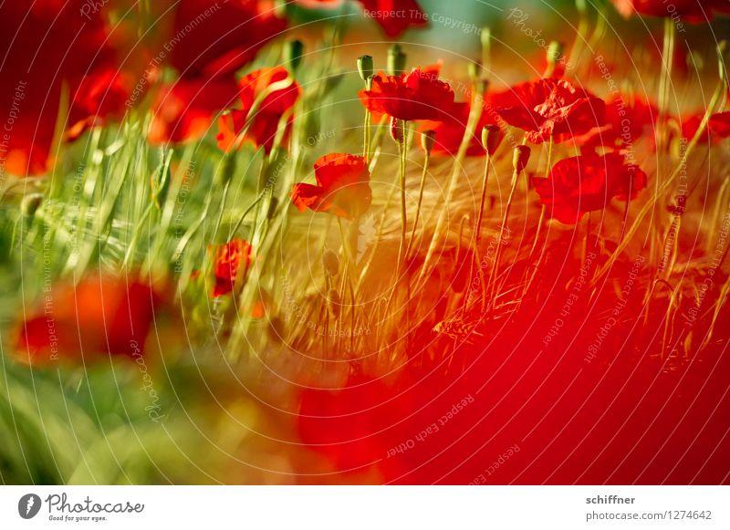 Spreedorado | Rot-Grün Schwäche Pflanze Schönes Wetter Blume Gras Blatt Blüte Wiese Feld grün rot Mohn Mohnblüte Mohnkapsel Mohnfeld Mohnblatt Außenaufnahme