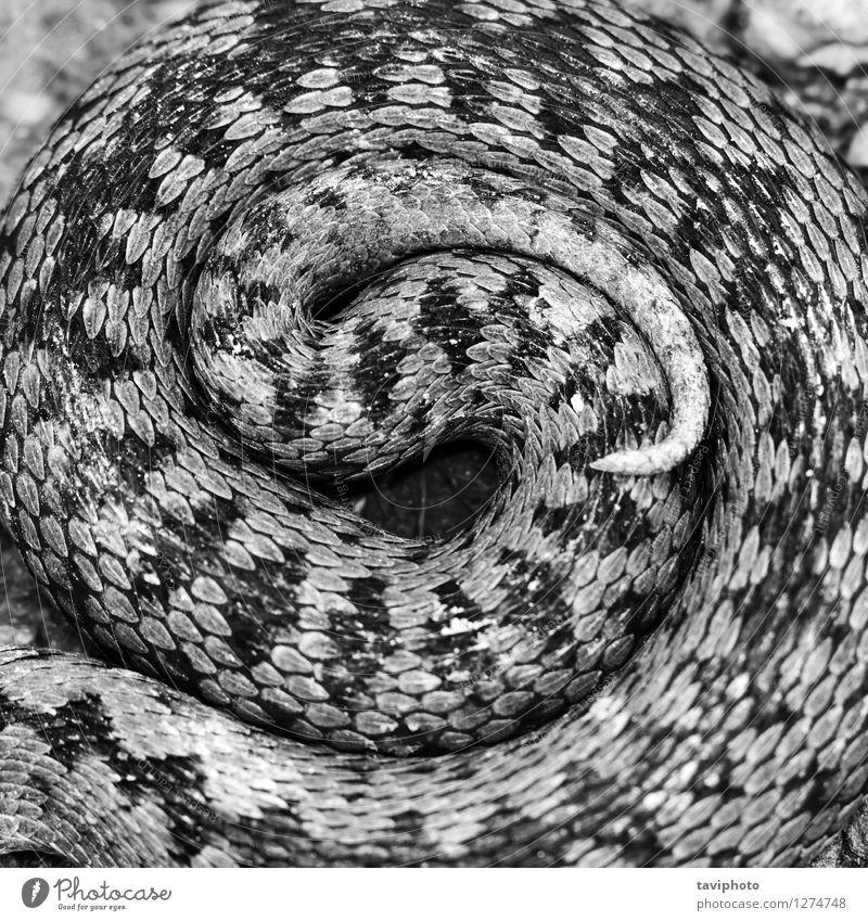 Frau weiß Tier schwarz Erwachsene wild Angst gefährlich Europäer Gift Reptil Schlange Schrecken Tarnung Zickzack Zoologie