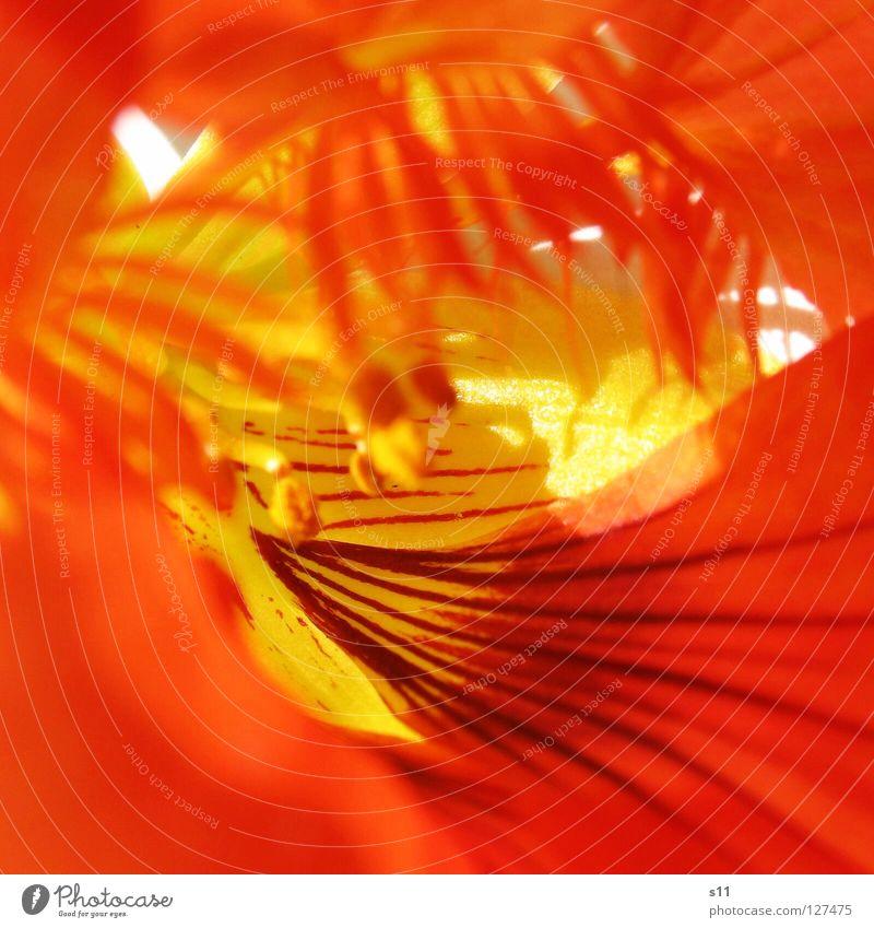 KapuzinerBlume II Natur schön rot Pflanze Sonne Sommer Blume gelb Blüte Lampe orange gold leuchten Streifen niedlich Mitte