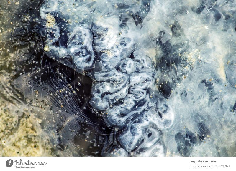 Blaue Nesselqualle Sand Strand Nordsee Meer Tier Wildtier Totes Tier Qualle Nesseltiere Cyanea lamarckii 1 blau gelb Tod Verwesung Ekel Farbfoto Außenaufnahme