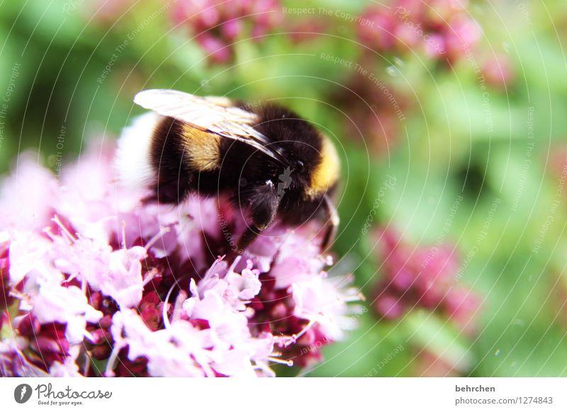 hummelviech Natur Pflanze Tier Frühling Sommer Schönes Wetter Blume Blatt Blüte Kräuter & Gewürze Majoran Thymian Oregano Garten Park Wiese Wildtier Flügel Fell