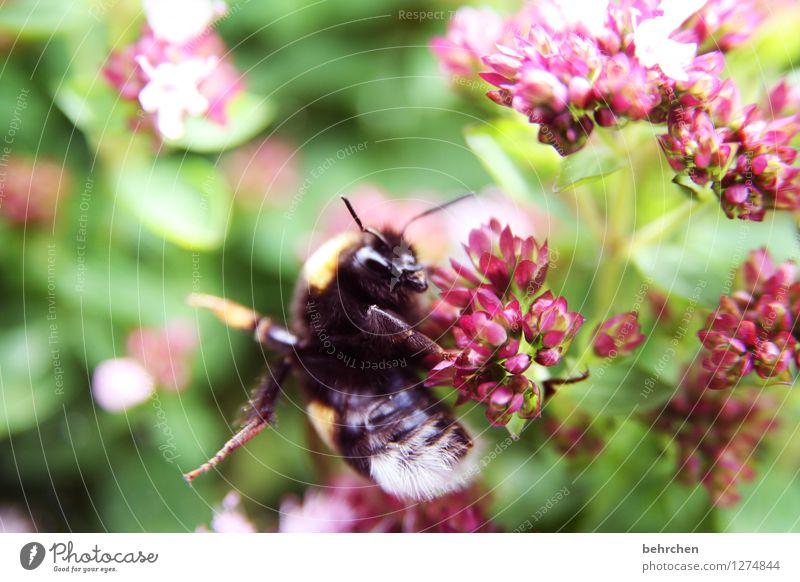 hummel hummel - mors mors Natur Pflanze Tier Frühling Sommer Schönes Wetter Blume Blatt Blüte Nutzpflanze Wildpflanze Oregano Majoran Nutztier Wildtier