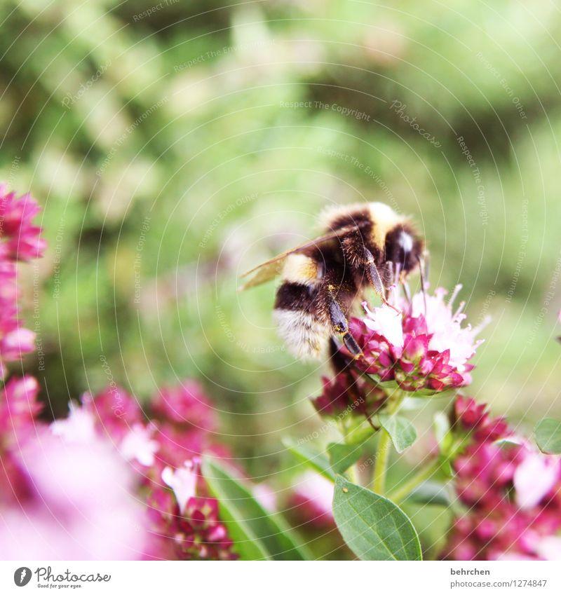 FLAUSCHIGe körperbehaarung Natur Pflanze Tier Frühling Sommer Schönes Wetter Blume Blatt Blüte Kräuter & Gewürze Thymian Oregano Majoran Garten Park Wiese