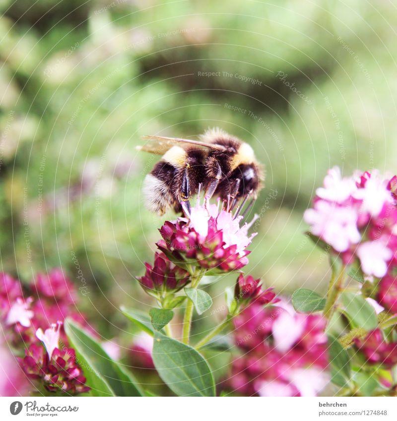 summsi Frühling Sommer Schönes Wetter Pflanze Blatt Blüte Kräuter & Gewürze Thymian Majoran Oregano Garten Park Wiese Wildtier Biene Flügel Fell 1 Tier Blühend