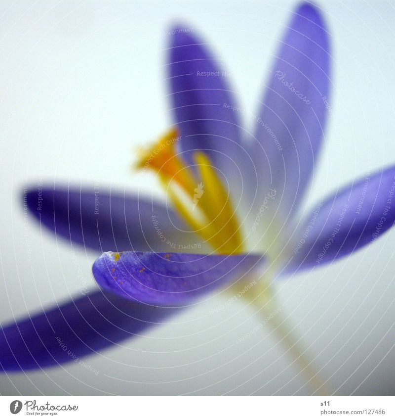 Krokus Natur Blume blau Pflanze Blüte Frühling orange Kraft violett zusätzlich Stempel Blütenblatt Krokusse Komplementärfarbe