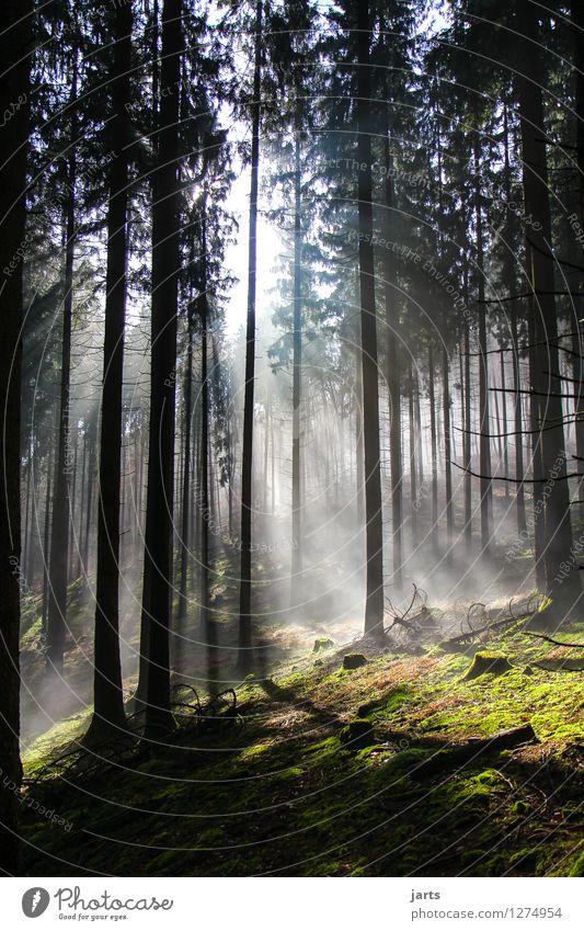 sinfonie des waldes Umwelt Natur Landschaft Schönes Wetter Nebel Baum Wald leuchten frisch Gesundheit hell natürlich Gelassenheit geduldig ruhig Hoffnung