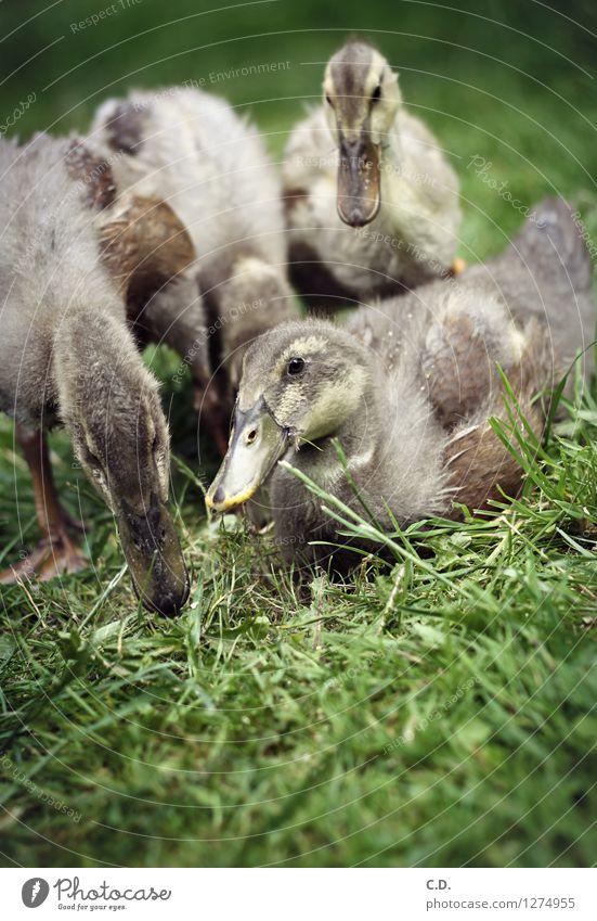 Ente, Ente, Ente... Natur Gras Garten Nutztier Laufente Entenküken 4 Tier Fressen authentisch Glück natürlich niedlich grün Feder Schnabel Farbfoto