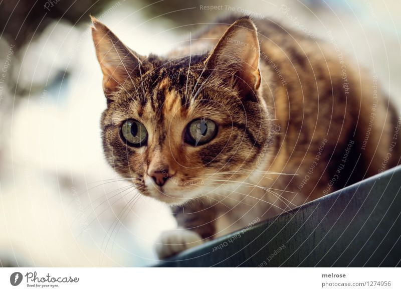 Kampfkatze elegant Stil Haustier Katze Tiergesicht Pfote Schnurrbarthaare 1 beobachten glänzend hocken leuchten Aggression bedrohlich schön Neugier verrückt