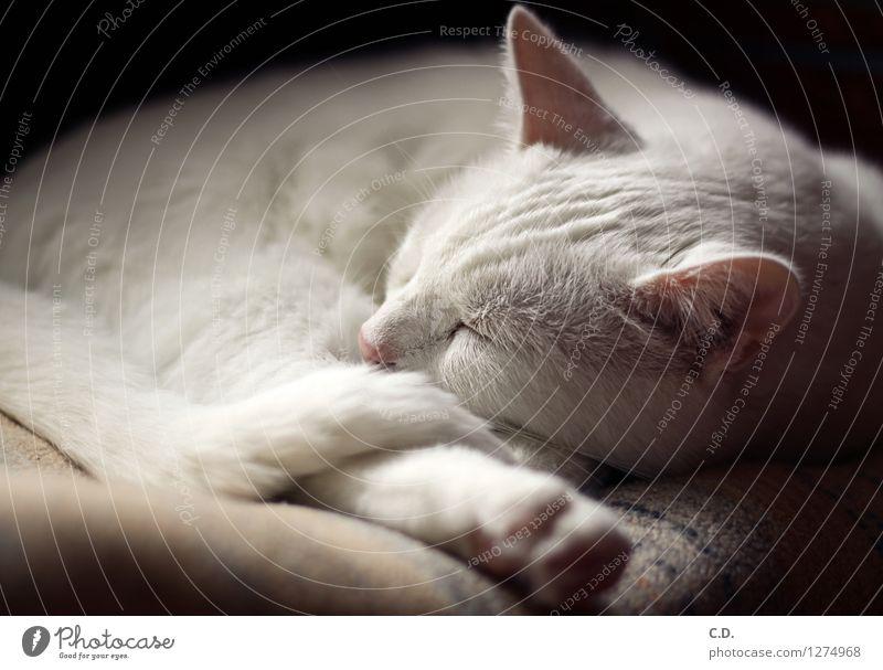 Gino I Fell weißhaarig Haustier Katze 1 Tier Erholung schlafen Glück Tierliebe Gelassenheit ruhig niedlich weich Müdigkeit weiße Katze Katzenohr Farbfoto