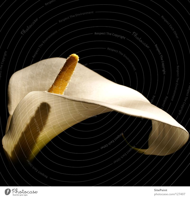 Calla weiß Blume schwarz Blüte elegant edel nobel