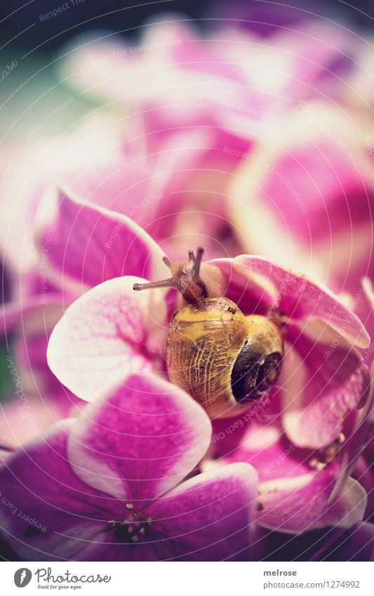 wie man sich bettet ... elegant Stil Natur Pflanze Sommer Schönes Wetter Blume Blüte Hortensienblüte Hortensienblätter Garten Tier Schnecke Fühler Schneckenhaus