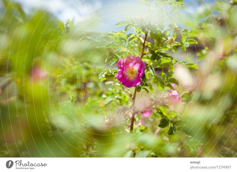 blühen Natur Pflanze grün Sommer Blume Umwelt natürlich Schönes Wetter violett