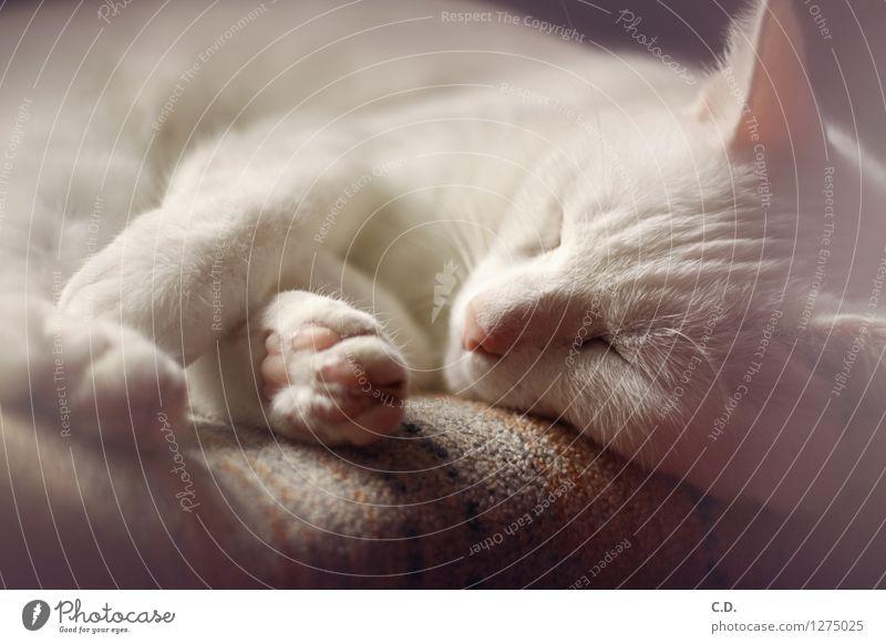 Gino II Fell weißhaarig kurzhaarig Haustier Katze Erholung schlafen niedlich Müdigkeit Katzenpfote Farbfoto Innenaufnahme Menschenleer Tag Tierporträt