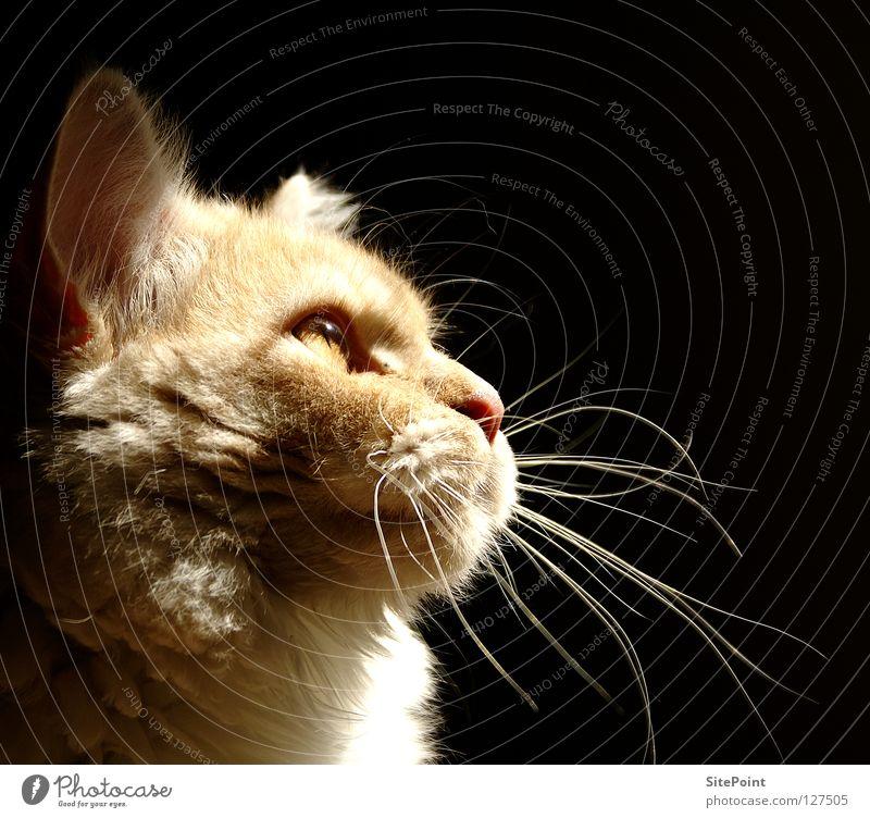 Im Licht Katze Silhouette Schnurrhaar schwarz Säugetier Hauskatze MaineCoon Schatten Profil cat light face