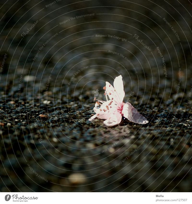 Asphaltromantik Blüte Blume Straßenbelag nass grau rosa hart zart Frühling Sturm kaputt unten Trauer Einsamkeit Umwelt ökologisch Verzweiflung Verkehrswege